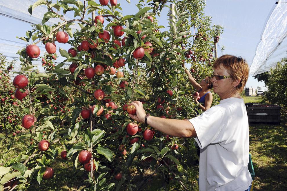 Un lucrător culege mere într-o livadă în Beaumont Pied Boeuf, vestul Franţei, luni, 23 septembrie 2013.