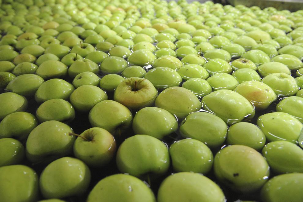 """Această imagine realizată la 24 septembrie 2013 arată mere Golden în zona de pre-calibrare, în fabrica Cooperativei  """"Preca Service"""", în Saint-Aubin-le-Depeint, vestul Franţei."""