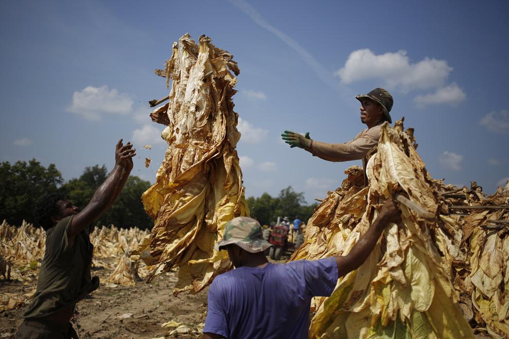 Lucrători imigranţi provenind din Mexic şi Nicaragua recoltează tutun Burley cultivat de Tucker Ferme, înainte de a închide frunzele în hambare pentru a începe procesul de maturare de şase săptămâni, luni, 9 septembrie 2013, în Pleasureville, Kentucky, Statele Unite.