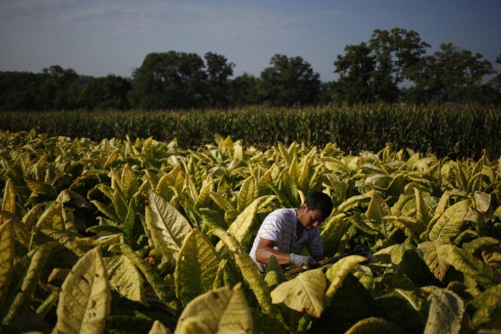 Lucrătorul imigrant Victor Parra, din Mexic recoltează tutun Burley, cultivat de Tucker Ferme, înainte de a închide frunzele în hambare pentru a începe procesul de maturare de şase săptămâni, luni, 9 septembrie 2013, în Pleasureville, Kentucky, Statele Unite.