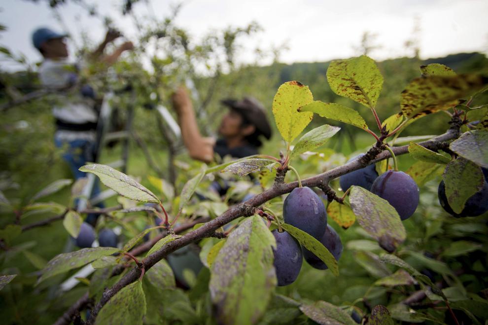 Prune se văd într-un copac, în timpul recoltei, la Stone Ridge Orchard, în Stone Ridge, New York, SUA, joi, 12 septembrie 2013.