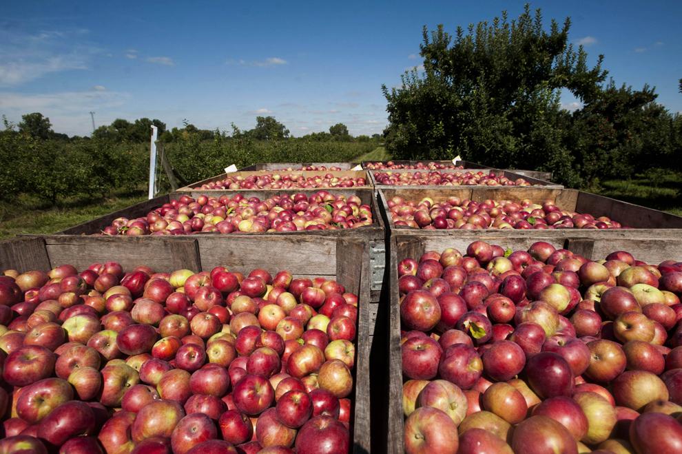 Lăzi de mere stau într-o remorcă aşteptând să fie transportate la centrul de procesare de la Livezile MacQueen, în Holland, Ohio, Statele Unite, marţi, 17 septembrie 2013.