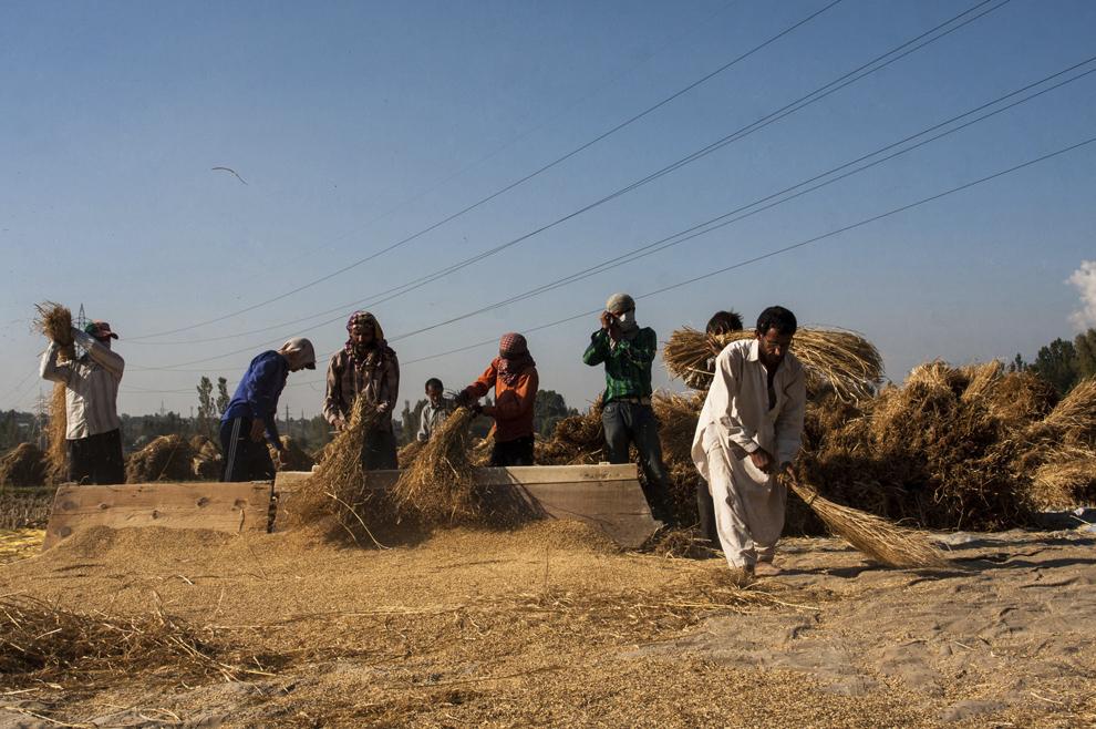 Fermieri vântură spice de orez într-o orezărie, după recoltare, joi, 3 octombrie 2013, în Sriinagar, Kashmir, India.