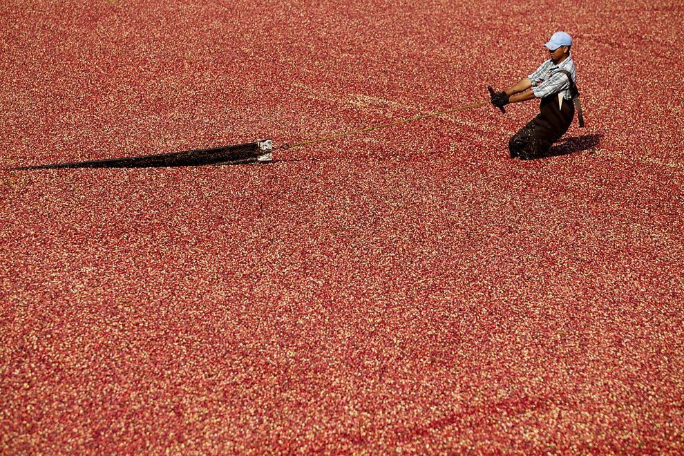 Un muncitor lucrează în zona de sortare a merişoarelor, în Carver, Massachusetts, State Unite, miercuri, 2 octombrie 2013.