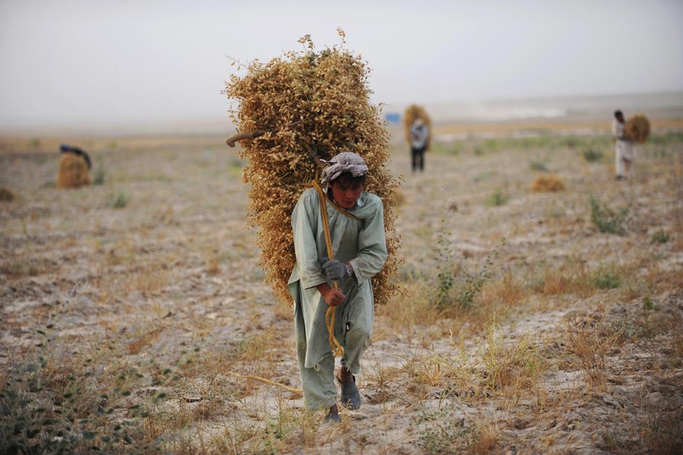 Un fermier afgan participă la strângerea recoltei pe un câmp din zona Marmol din Mazar-i Sharif, capitala provinciei Balkh, duminică, 2 iunie 2013.