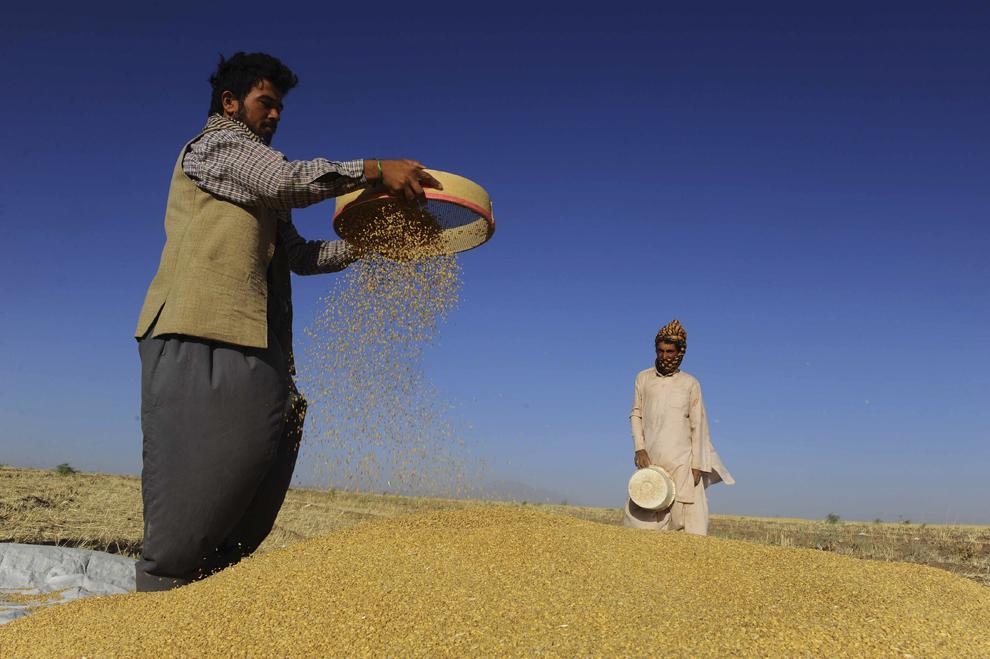 Fermieri afgani cern grâu, pe un câmp de la marginea provinciei Herat, sâmbătă, 8 iunie 2013.