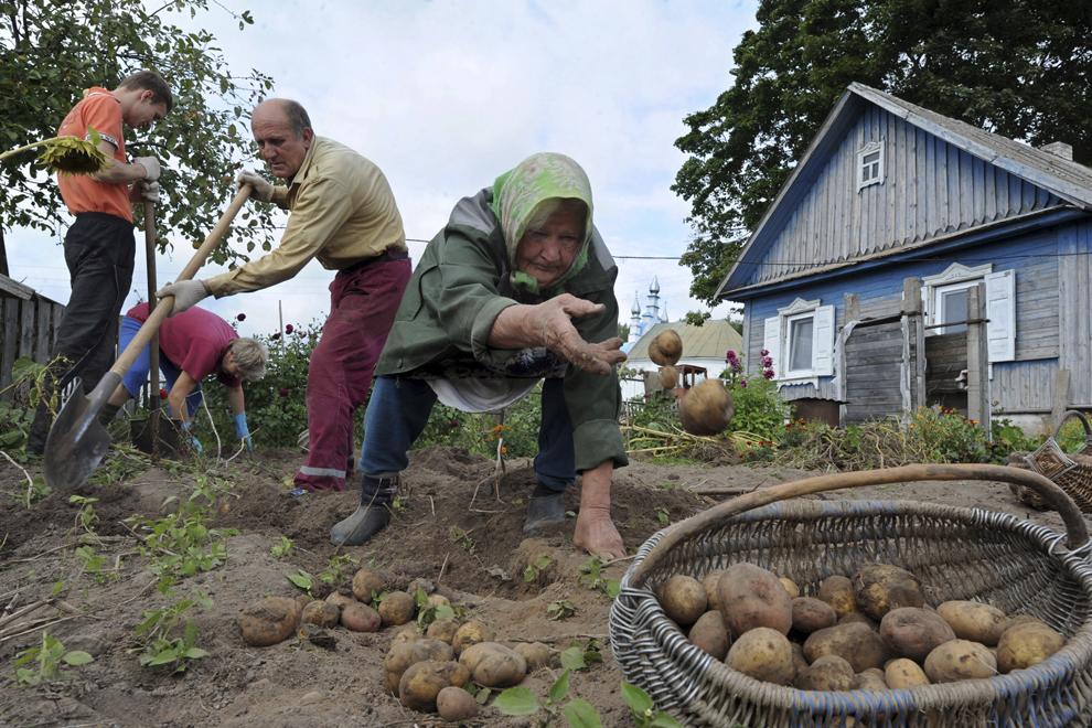 O familie adună cartofi din propria grădină, în satul Kasun, 35 km nord-vest de Minsk, Belarus, duminică 1 septembrie 2013.