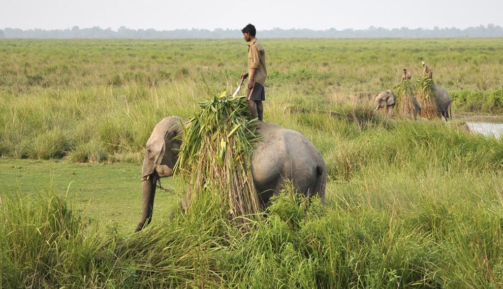 Conducători de elefanţi transportă iarbă în Parcul Naţional Kaziranga, India, joi, 31 octombrie 2013.