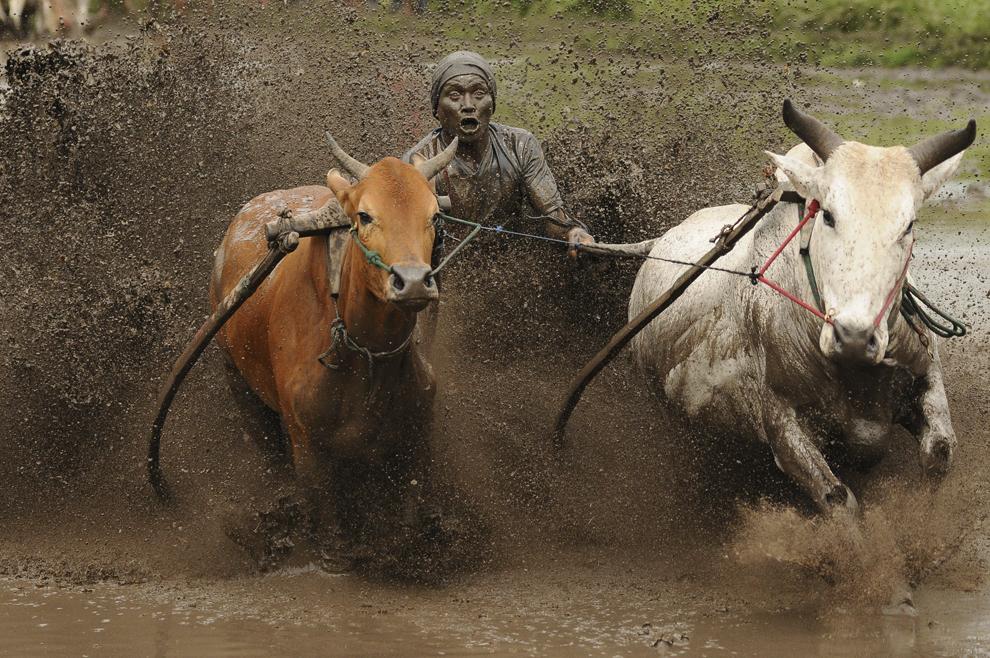 """Un jockeu impulsionează o pereche de vaci, în timpul cursei """"Pacu Jawi"""", în Batusangkar, Indonezia, sâmbătă, 12 octombrie 2013."""