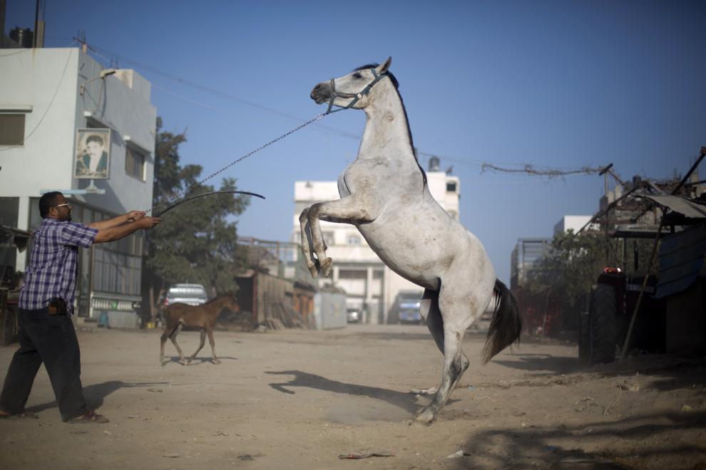Un bărbat palestinian încearcă să dreseze un cal, în Gaza, miercuri, 23 octombrie 2013.