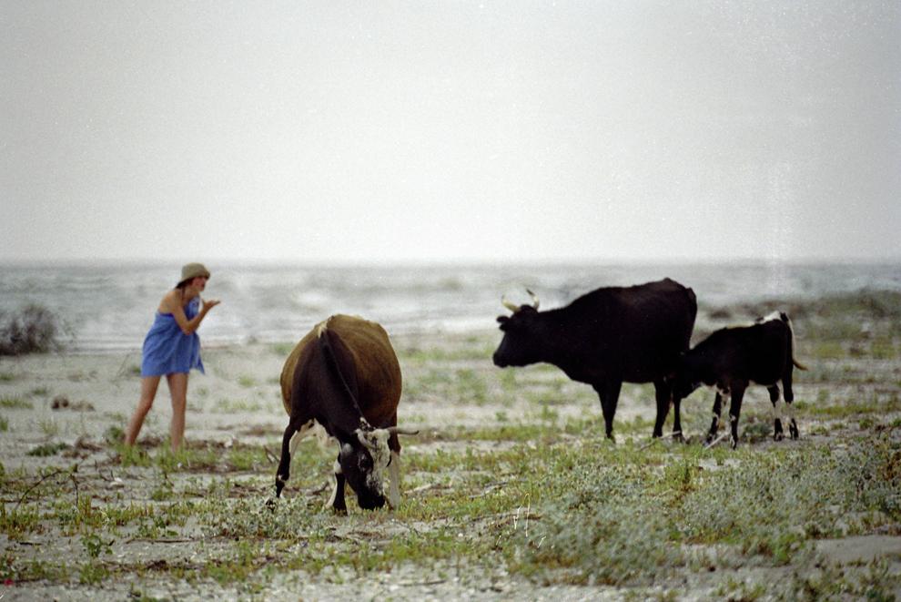 Sfântu Gheorghe, vacile se pot adăpa direct din mare. La confluenţa cu braţul Dunării, apa este dulce. Apariţia lor pe plajă supără câţiva turişti aflaţi în căutare de linişte. Dialogul pare imposibil.