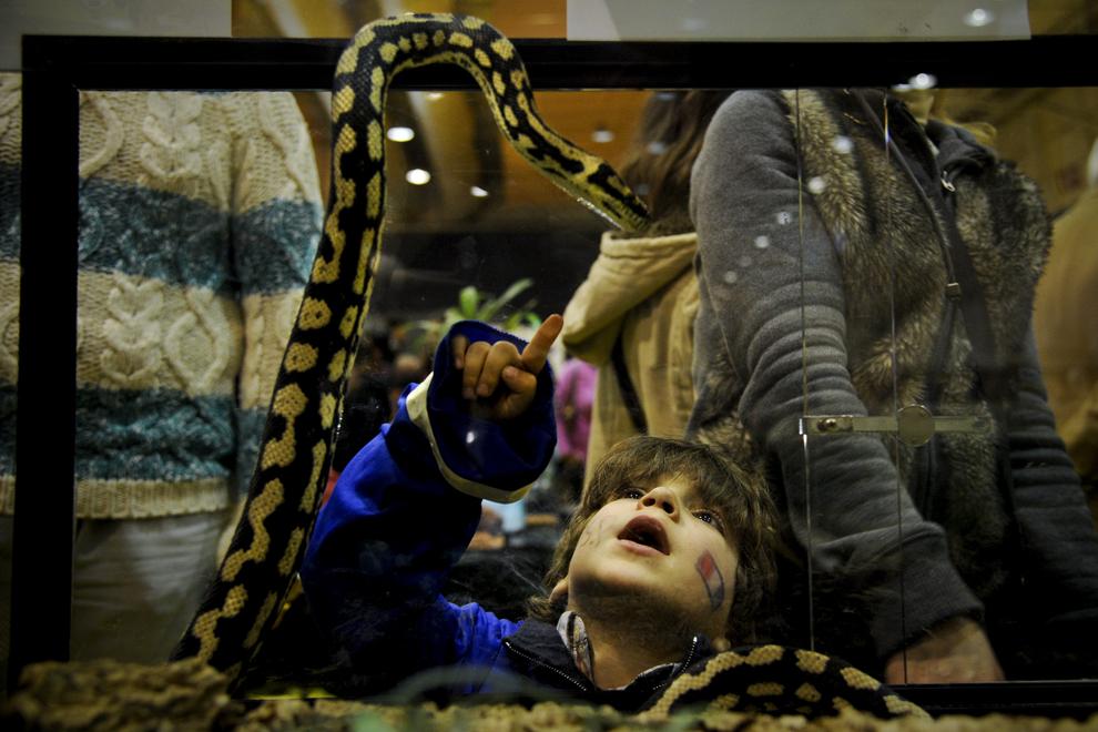 Un copil arată spre un şarpe în timpul unui festival al animalelor de companie, în Lisabona, sâmbătă, 9 februarie 2013.