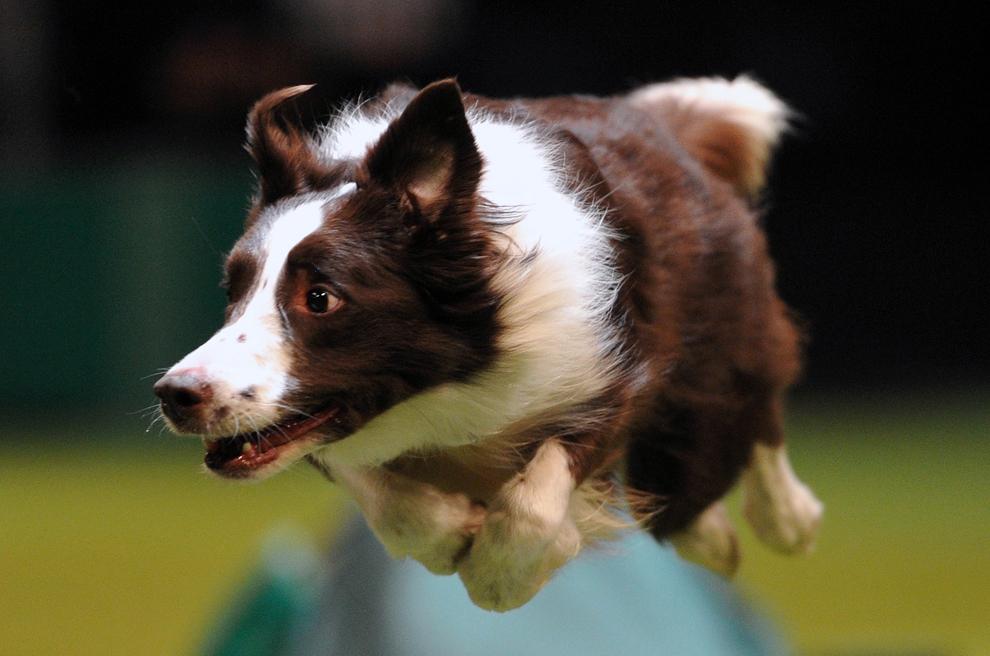Un câine din rasa collie sare în timpul unei competiţii de agilitate, în timpul celei de-a patra zi a show-ului canin Crufts, în Birmingham, Anglia, duminică, 10 martie 2013.