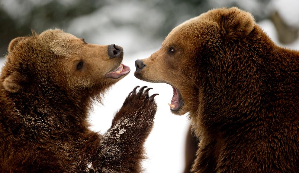 Doi urşi bruni se joacă în zăpadă în interiorul grădinii zoologice Tierpark Hagenbeck din Hamburg, luni, 18 martie 2013.