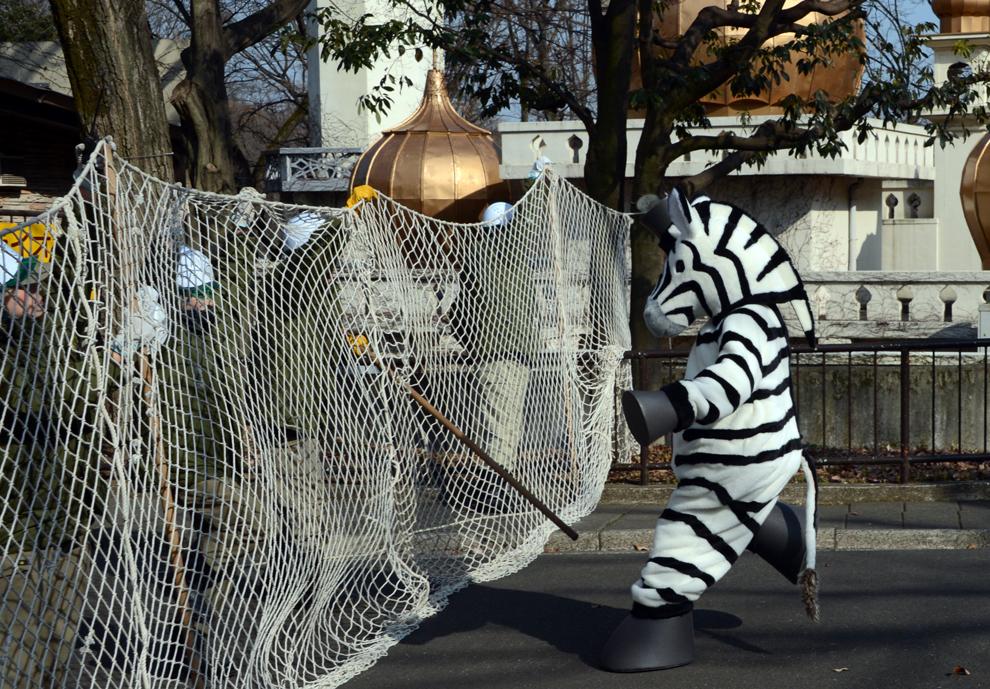 Un angajat al grădinii zoologice Tama, îmbrăcat într-un costum de zebră, participă la un exerciţiu de prindere a animalelor scăpate de la zoo, în Tokyo, vineri, 1 februarie 2013.