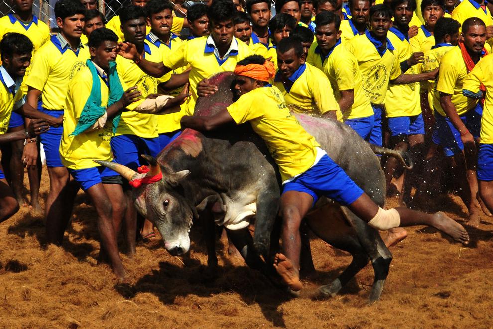 Mai mulţi participanţi încearcă să doboare un taur în timpul festivalului tradiţional de îmblânzire a taurilor 'Jallikattu', în Palamedu, India, marţi, 15 ianuarie 2013.