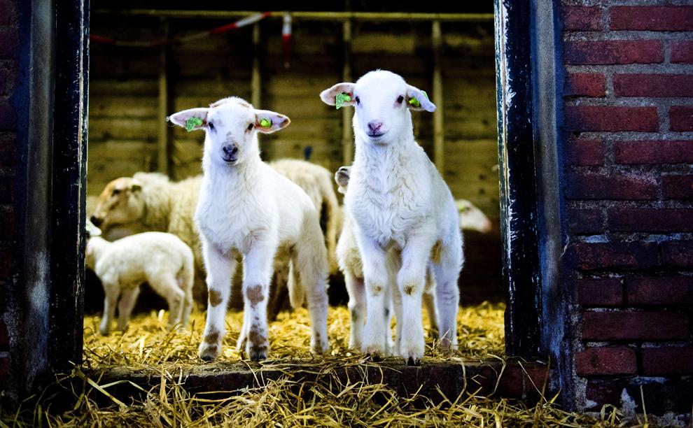 Doi miei privesc spre camera de fotografiat dintr-un staul din Heeze-Leende, Olanda, duminică, 20 februarie 2013.