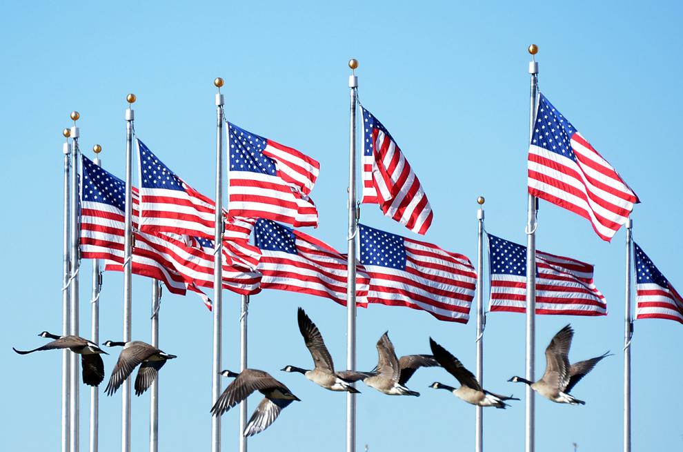 Un cârd de gâşte zboară pe lângă mai multe steaguri ale Statelor Unite ale Americii, în apropierea monumentului Washington, în Washington, 20 ianuarie 2013.