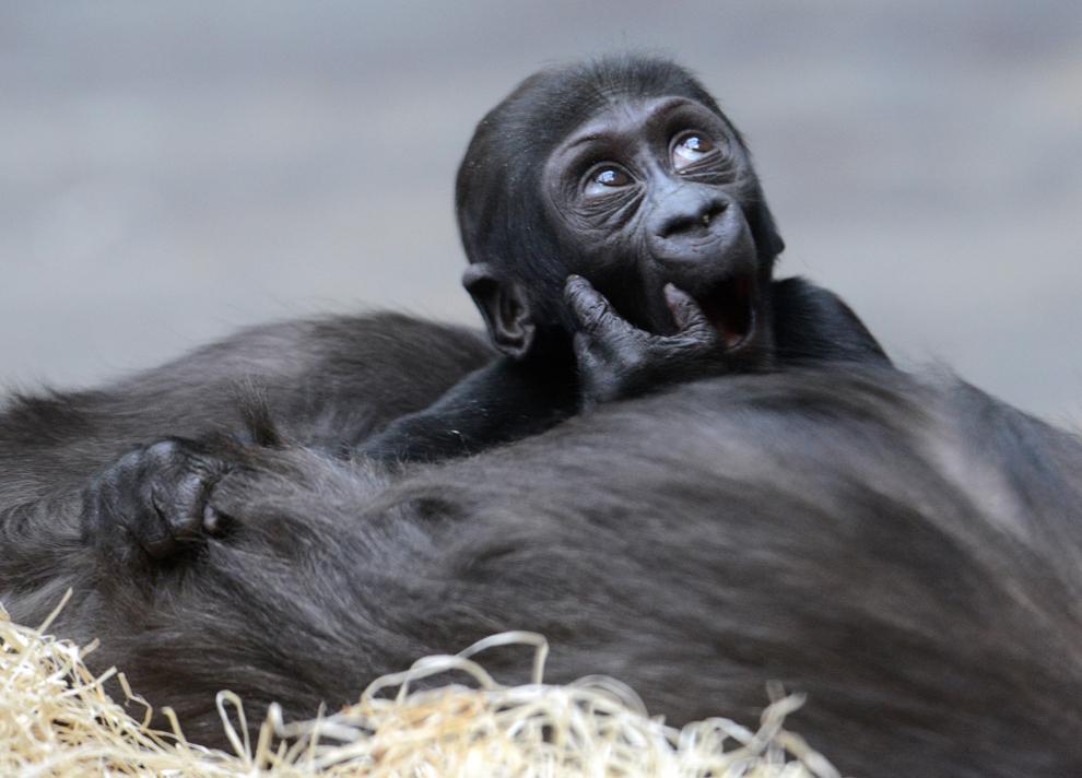 Kijivu, o gorilă aflată în captivitate, îşi ţine puiul în vârstă de 3 luni în timp ce se odihneşte, în grădina zoologica din Praga, vineri, 15 martie, 2013.