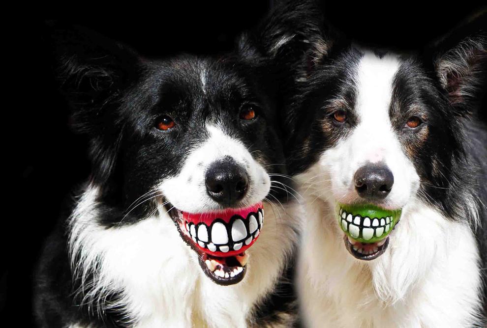 Doi câini ţin în gură două mingi denumite Grinz,  produse de compania sud-africană Rogz şi care au desenate pe ele două rânduri de dinţi, în Cape Town, Africa de Sud, joi, 21 februarie 2013.