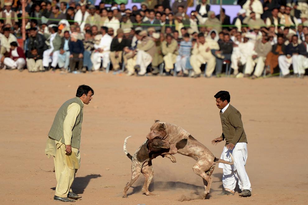 Doi proprietari de câini supraveghează o luptă canină, în Islamabad, Pakistan, sâmbătă, 26 ianuarie 2013.