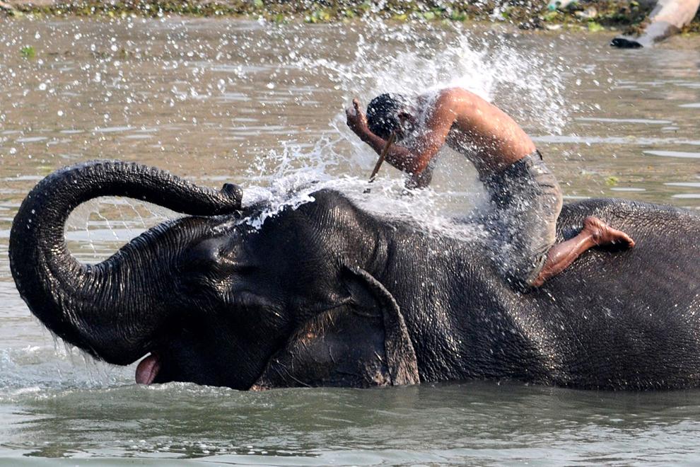 Un conducător de elefanţi este stropit de elefantul său înaintea începerii sezonului turistic, atunci când aceştia oferă transport vizitatorilor în Sanctuarul Faunei Sălbatice Pobitora, în Pobitora, marţi, 5 martie 2013.