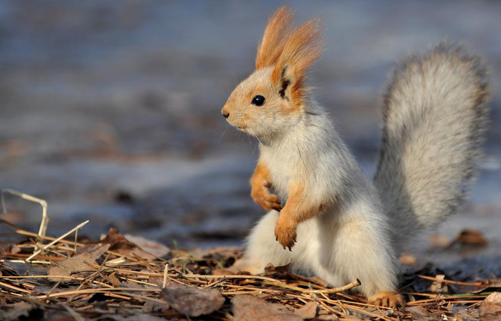 O veveriţă este fotografiată într-un parc din capitala Kîrgîzstanului, Bishkek, miercuri, 27 ianuarie 2013.