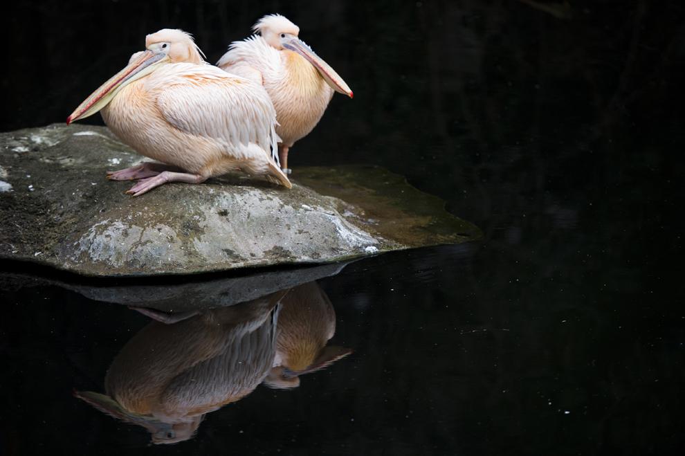 Doi pelicani se reflectă într-un iaz din interiorul grădinii zoologice din Frankfurt pe Main, joi, 28 ianuarie 2013.