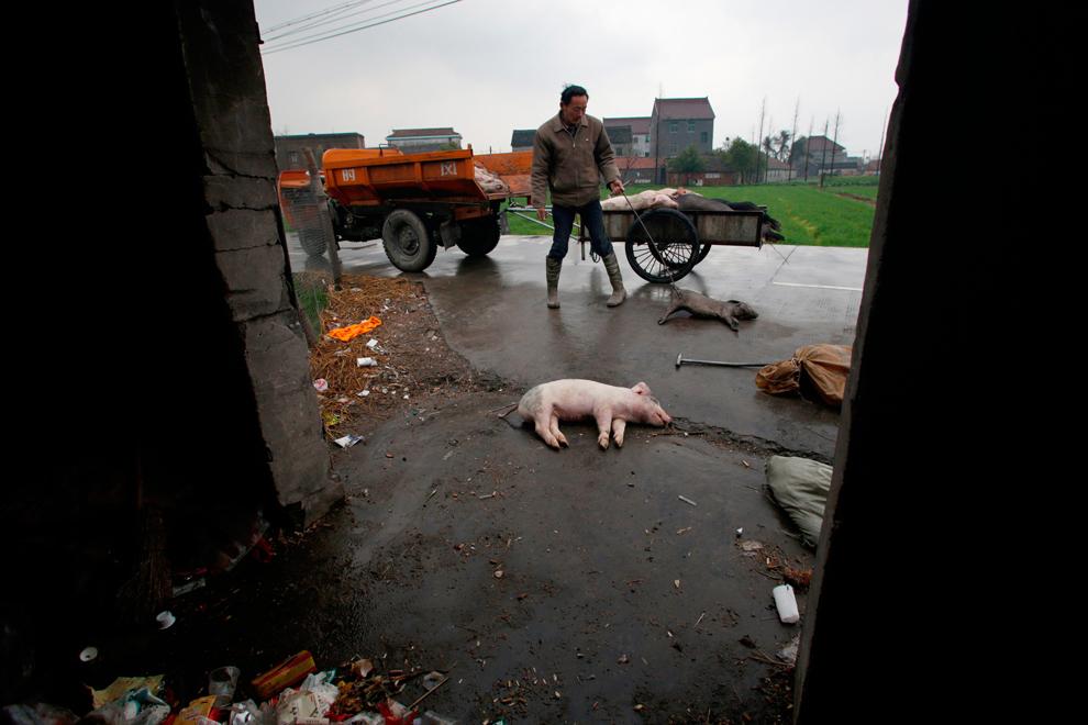 Un bărbat adună mai mulţi porci morţi, în Jiaxing, provincia Zhejiang, în estul Chinei, miercuri, 13 martie 2013.
