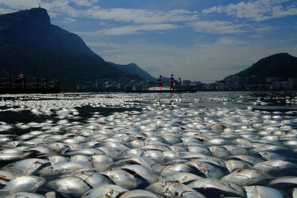 Tone de peşti morţi plutesc pe apele lagunei Rodrigo de Freitas, în apropiere de muntele Corcovado, în Rio de Janeiro, Brazilia, joi, 13 martie 2013.
