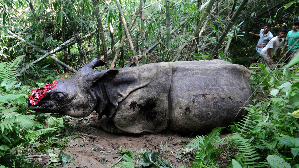 Mai mulţi săteni se uită la un rinocer rănit, care a fost împuşcat şi căruia i-a fost îndepărtat cornul de către braconieri, pe dealurile din jungla Parku, aproape de Parcul Naţional Kaziranga, miercuri, 26 septembrie 2012.
