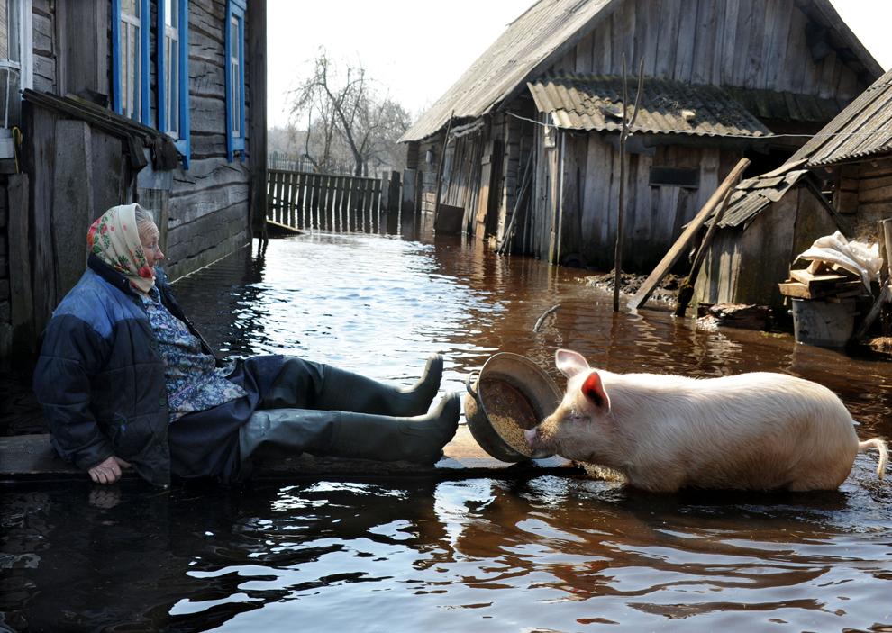 O femeie hrăneşte un porc în curtea casei sale, în timpul unor inundaţii de primăvară, în satul Snyadin din Belarus, marţi, 16 aprilie 2013.