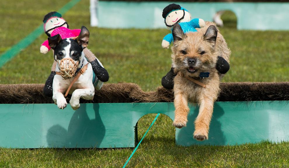 Mai mulţi terrieri iau parte la o cursă, în timpul unei competiţii rurale ţinute cu ocazia Zilei Familiei, duminică, 7 aprilie 2013, în Ascot, Anglia.