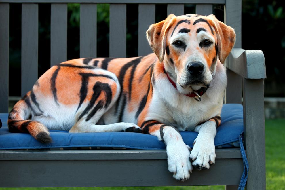 Lilo, un labrador în vârstă de 10 luni a fost vopsit de stăpânii săi pentru a arăta ca un tigru, în Gold Coast, Australia, marţi, 2 aprilie 2013.
