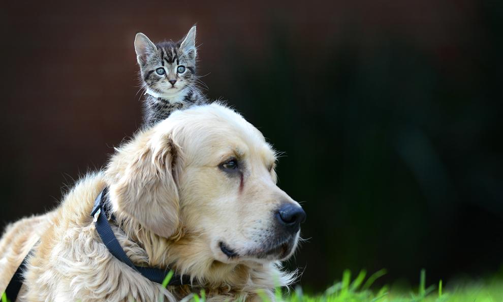 Harvey, un câine din rasa Golden Retriever în vărstă de opt ani si Cindy, un pisoi în vârstă de 8 săptămâni, pozează la un adăpost pentru animale pierdute, în Melbourne, Australia, vineri, 5 aprilie 2013.