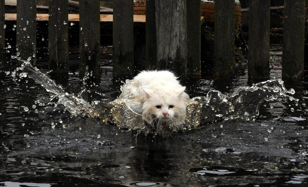 O pisică înfruntă apa, în timpul inundaţiilor de primăvară, în satul Khvoensk din Belarus, circa 280 de km sud de Minsk, sâmbătă, 13 aprilie 2013.