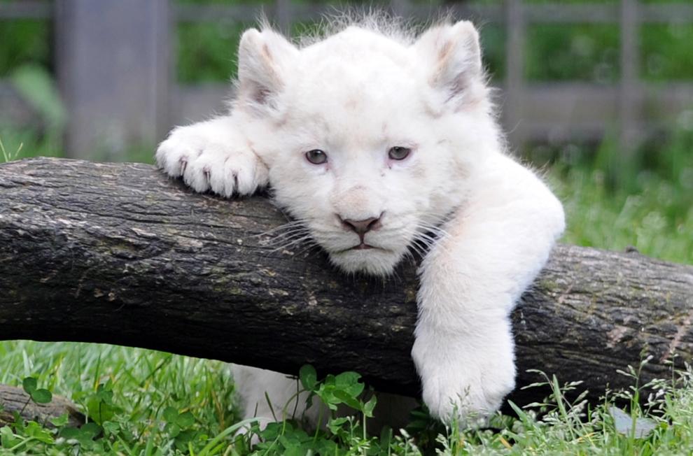 Un pui de leu alb poate fi văzut la grădina zoologică din Pont-Scroff, vestul Franţei, joi, 18 aprilie 2013. Trei pui de leu, doi masculi şi o femelă s-au nascut în captivitate pe 23 februarie şi au fost prezentaţi publicului pentru prima dată în data de 17 aprilie.