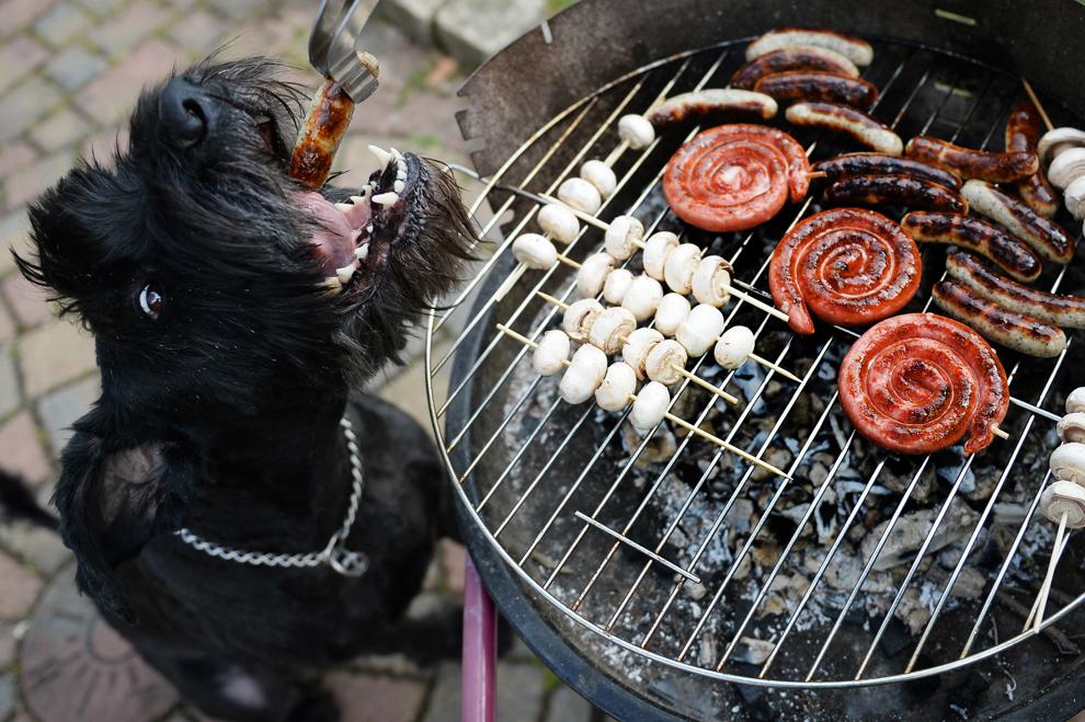 """Câine """"Chili"""" primeşte un cârnat la grătar, cu ocazia preparării primului grătar din această primăvară în Busbach, sudul Germaniei, duminică, 14 aprilie 2013."""