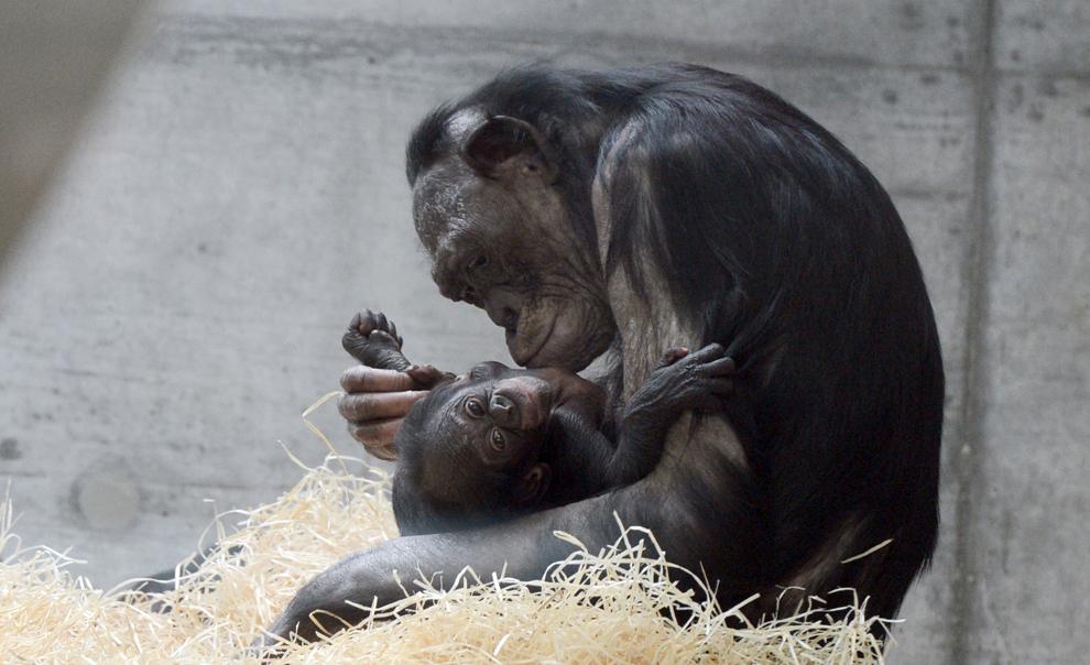 O maimuţă Bonobo îşi ţine puiul în braţe, marţi, 23 aprilie 2013, la grădina zoologică Wilhelma din Stuttgart, sudul Germaniei.