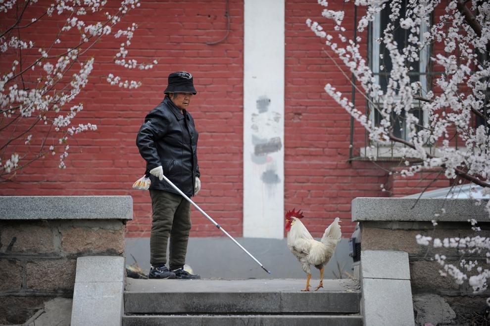 O femeie în vârstă se uită la un cocoş, în Beijing, joi, 4 aprilie 2013. Un bărbat din provincia chineză Zhejiang a murit de tulpina H7N9 a gripei aviare, a declarat mass-media de stat, aducând numărul total de decese atribuite virusului la trei.