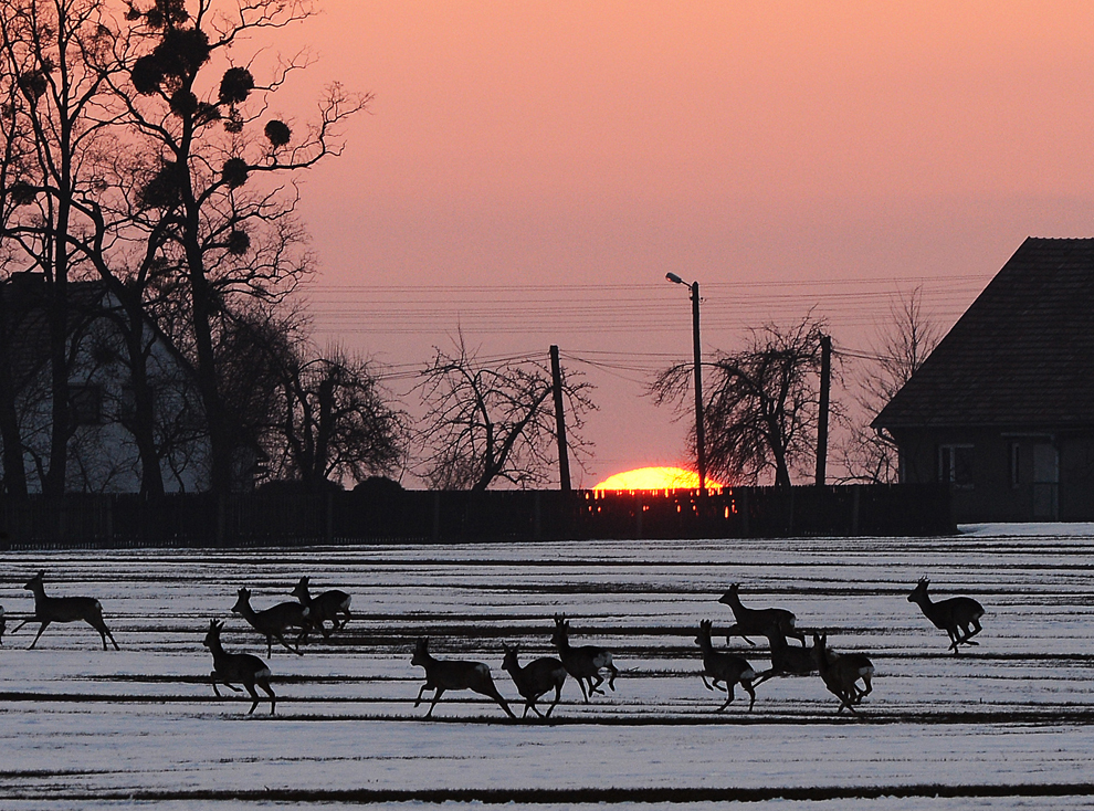 O turmă de căprioare trece printr-un câmp înzăpezit, într-un sat de lângă Czestochowa, sudul Poloniei, la apusul soarelui, duminică, 7 aprilie 2013.