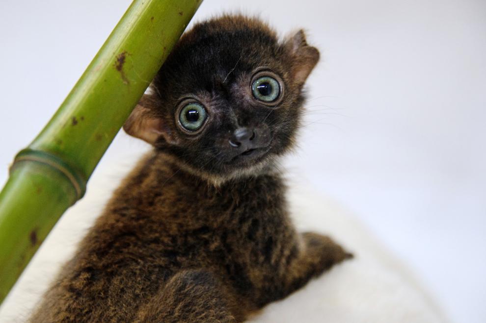 """""""Dimbi"""", un pui de lemur negru cu ochi albaştri (Eulemur flavifrons) este fotografiat la grădina zoologică din Mulhouse, nord-estul Franţei, vineri, 19 aprilie 2013. În prezent există mai puţin de 2.000 de exemplare ale acestei specii în sălbăticie."""