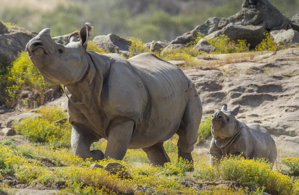 Shomili, un rinocer în vârstă de patru ani şi jumătate, al cărui nume înseamnă frumos sau elegant în limba bengali, merge alături de mama sa, Sundari, după ce au fost eliberaţi într-o zonă de 40 de acri a grădinii yoologice din San Diego, California, marţi, 23 aprilie 2013.