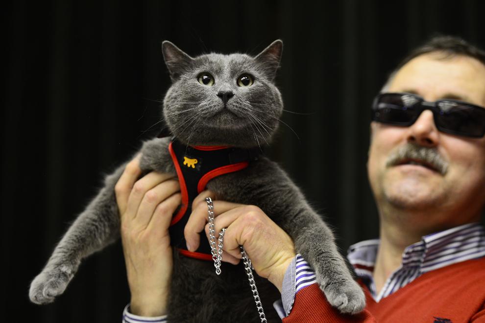 Pisica Colorado, din rasa Persian Blue, este prezentată de stăpânul ei, în cadrul expoziţiei internaţionale de pisici Sofisticat 2013, în Bucureşti, sâmbătă, 6 aprilie 2013.