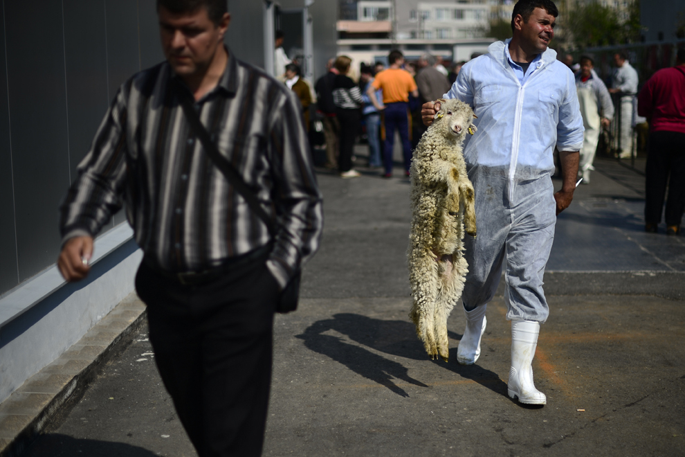 Un cioban duce un miel spre a fi sacrificat în abatorul amenajat în cadrul Pieţei Apărătorii Patriei din Bucureşti, miercuri, 24 aprilie 2013.