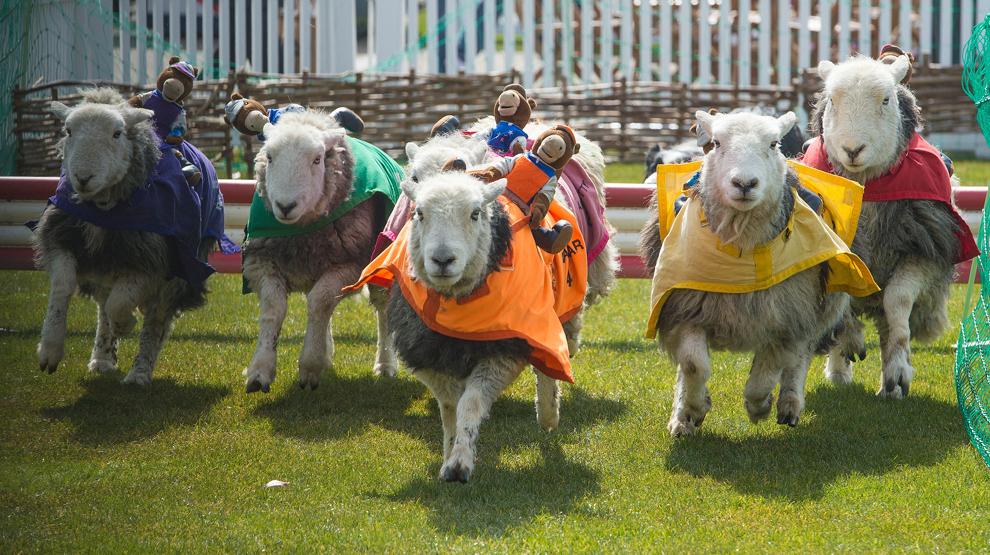 Mai mulţi miei iau parte la o cursă, în timpul unei competiţii rurale ţinute cu ocazia Zilei Familiei, duminică, 7 aprilie 2013, în Ascot, Anglia.