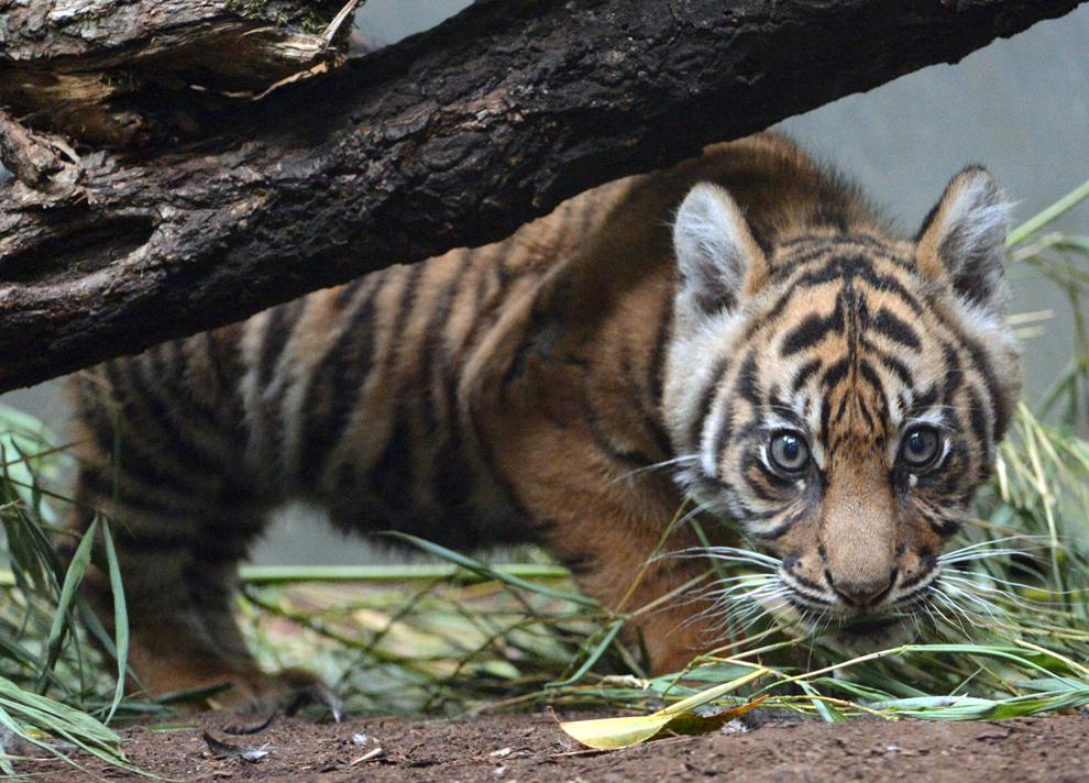 Berani, un pui de tigru, poate fi văzut în ţarcul său din grădina zoologică din Frankfurt, Germania, joi, 20 iunie 2013.