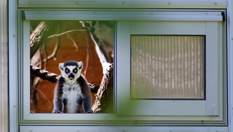 Un lemur cu coada inelată (Lemur catta) priveşte către ţarcul exterior al grădinii zoologice din Rostock, Germania, luni, 15 mai 2013.