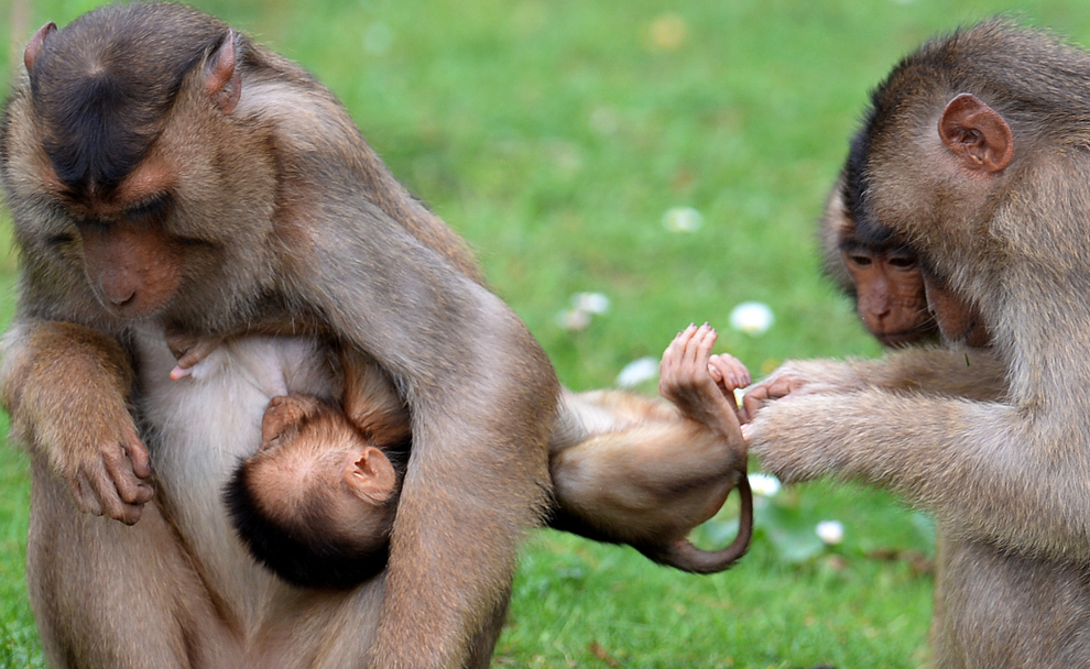 Maimuţe din Borneo se joacă în ţarcul destinat maimuţelor, din grădina zoologică Gelsenkirchen, Germania, marţi, 16 mai 2013.