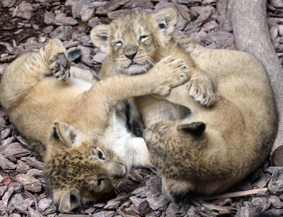 """Trei pui de lei indieni se joacă în """"Casa Indiană"""" a grădinii zoologice şi botanice din Budapesta, vineri, 24 mai 2013."""